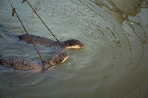 The otters swim and eat while mustering the fish towards the net.