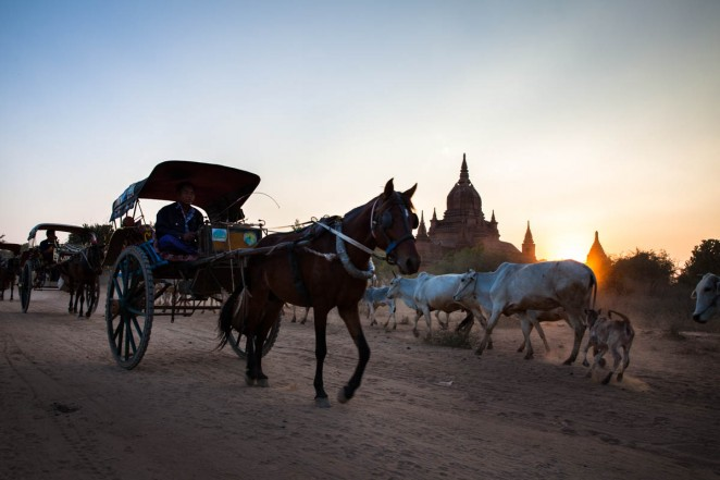 Horse carts and grazing cattle are seeing among ancient Bagan's Buddhist temples. Bagan, Burma. Jan. 22. 2013. ©Erika Pineros