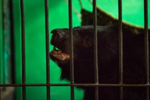 An adult moon bear is fed at Free The Bears' compound in Phnom Tamao Wildlife Rescue Center.