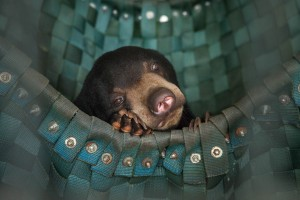 A sun bear takes a nap in one of Free The Bears' hammocks at the Phnom Tamao Wildlife Rescue Center.