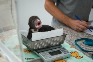"Sun bear cub 'Jammy"" is weighed after being fed at the Bear Quarantine Center at Phnom Tamao Wildlife Rescue Center. The cubs are closely monitored during the first months. ""Taking care of such tiny mammals is a significant challenge,"" says Matt Hunt, chief executive of Free The Bears."
