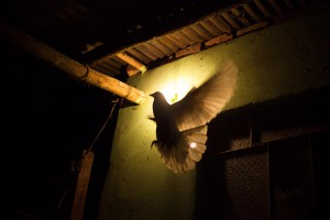 A dove flies to its nest at  Orlando's house. Orlando is an ex-combatant from Colombia's second biggest guerrilla group – The National Liberation Army (ELN). He joined when he was 7 years old, after being raped and, consequently, rejected by his family.