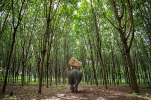 Neang Loung, the female elephant in charge of delivering election materials to one of Cambodia's most remote polling stations, walks across a rubber plantation in Mondulkiri Province a day before National Elections.